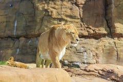 Lew w pięknym Zachodniego Midland safari parku Fotografia Stock