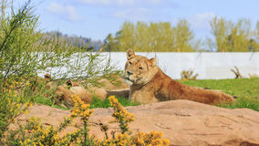 Lew w pięknym Zachodniego Midland safari parku Zdjęcie Stock