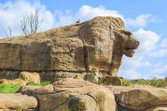 Lew w pięknym Zachodniego Midland safari parku Obrazy Stock