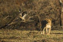 Lew w ranku świetle zdjęcie stock