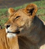 Lew w słońcu Obrazy Royalty Free