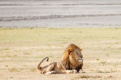 Lew w Serengeti Obraz Royalty Free
