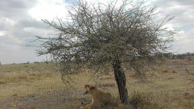 Lew w Serengeti NP Fotografia Stock