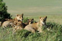 Lew w trawie Masai Mara, Kenja obraz royalty free