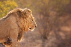 Lew w wczesnego poranku świetle słonecznym w Kruger NP, Południowa Afryka Obrazy Royalty Free