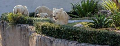 Lew w zoo zdjęcia royalty free