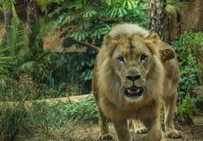 Lew w zoo w dobrym stanie stosunkowo obraz stock