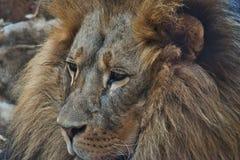 Lew w zoo grzywy zwierząt przyrody poryku obraz royalty free