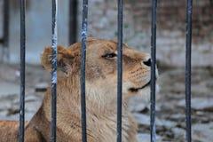 Lew w zoo klatce obraz stock