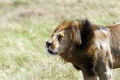 Lew wiruje jego głowę usuwać komarnicy Fotografia Royalty Free