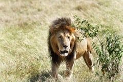 Lew wyłania się od krzaka Obraz Royalty Free