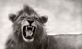 Lew wystawia niebezpiecznych zęby Zdjęcie Stock