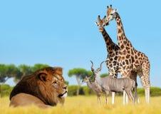Lew z żyrafami i antylopami obrazy royalty free