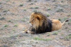 Lew z grzywą, ja w otwartym polu Fotografia Stock