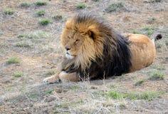 Lew z grzywą, ja w otwartym polu Fotografia Royalty Free