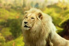 Lew z kraju tłem Zdjęcia Royalty Free