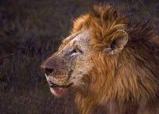 Lew z krwią na jego usta Zdjęcia Stock