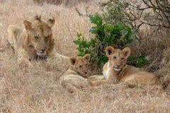 Lew z lisiątkami w obszarach trawiastych na Masai Mara, Kenja Afryka zdjęcie royalty free