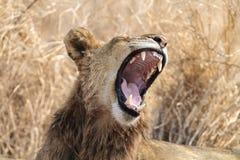 Lew z otwartym usta huczeniem Zdjęcia Royalty Free