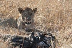 Lew z polowaniem obrazy stock