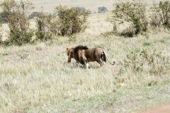 Lew z swój szturmanem Zdjęcia Stock