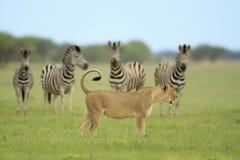 lew zebry Obrazy Royalty Free