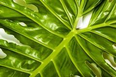 Lewa Strona widok szczegóły filodendron rośliny liść Obrazy Royalty Free