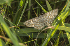 Lewes-Motte Scopula-immorata Stockfotos