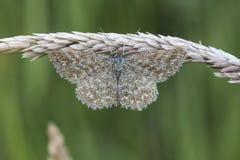 Lewes-Motte Scopula-immorata Lizenzfreie Stockbilder