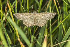 Lewes-Motte Scopula-immorata Lizenzfreies Stockbild
