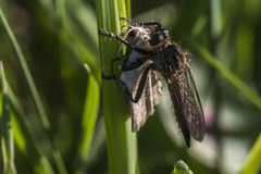 Lewes-Motte Scopula-immorata Lizenzfreie Stockfotos