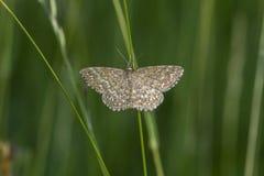Lewes-Motte Scopula-immorata Stockfotografie