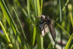 Lewes-Motte Scopula-immorata Stockbilder