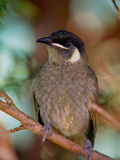 Lewin's Honeyeater. A Small Bird That Feeds On Nectar Royalty Free Stock Photos