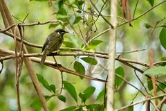 Lewin`s honeyeater siting down on the twig. Royalty Free Stock Images
