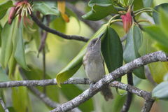 Lewins ` s Honeyeater Obraz Royalty Free