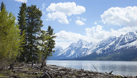 Lewis Lake below Grand Teton mountain range. With trees and driftwood on the shore Royalty Free Stock Image
