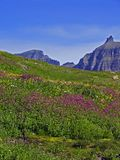 Lewis Monkey Flowers. This image of the hillside covered by (mainly) Lewis Monkey Flowers was taken in Glacier National Park Royalty Free Stock Photography