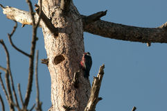 Lewis's Woodpecker At The Nest Stock Images