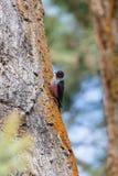 Lewis Woodpecker stock fotografie