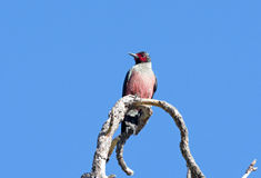 Lewis Woodpecker standing on a dead tree, Oregon, USA.  Blue sky Stock Images