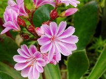Lewisia cotyledon. Some blossoms of a lewisia Stock Photography