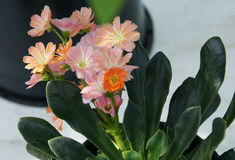 Lewisia cotyledon 'Sunset Group' Stock Image