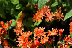 Lewisia plant blooming in a garden. A lewisia plant in full bloom in a garden stock photo