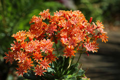 Lewisia plant with orange flowers. Flowering lewisia plant with orange and gold flowers stock photo