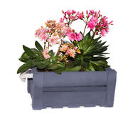 Lewisia plants in a grey wooden box. Lewisia, perennial alpine plants native to western North American in a grey wooden box Stock Photography