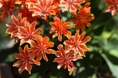 Lewisia rock plant with orange flowers close up detail. Close up of orange flowers of a lewisia plant royalty free stock images