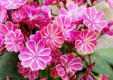 Lewisia Twedei Rosa flowers Royalty Free Stock Photos