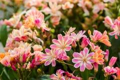 Lewisia Twedei Rosa  flowers Stock Image