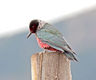 Lewiss Woodpecker Royalty Free Stock Images